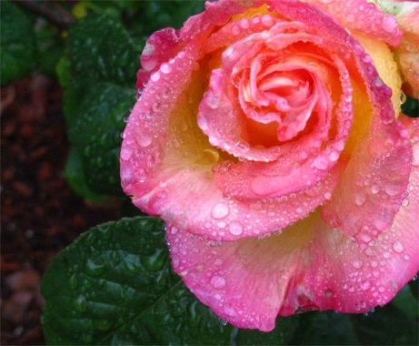 Pink & Gold Rose