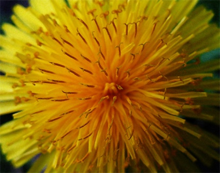 My dandelion photo