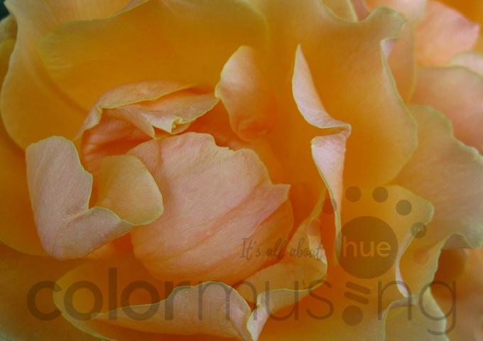 Original rose photo on Shutterstock